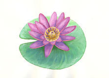 Water lily. Watercolour image with water lily on leaf isolated on white Royalty Free Stock Image