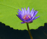 Water Lily. Purple water lily on green leaf background Stock Photo