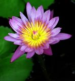 Water Lily. The beauty of a water lily Royalty Free Stock Photos