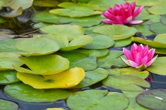 Free Water Lily Royalty Free Stock Images - 77683869