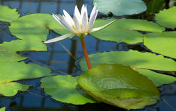 Water lily. In a pond stock photography