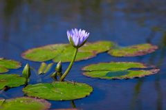 Water lily. Lilly in the pond Stock Image