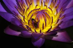 Water lily. And bee in the pond stock images