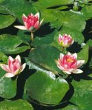 Water lily. Red waterlilys and  green leaves Stock Photo
