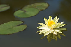 Water lily. A water lily with its' reflection on water Stock Images