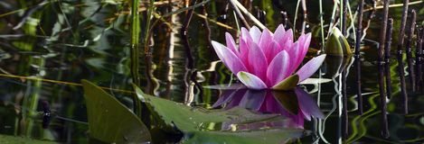 Water Lily, Aquatic Plant, Blossom Royalty Free Stock Photo