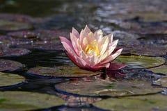 Water Lily, Aquatic Plant, Blossom Stock Photos