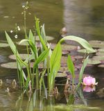Water lily and aquatic plants royalty free stock images
