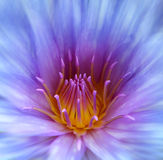 Water lily background Stock Photography