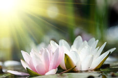 Water lily background Stock Images