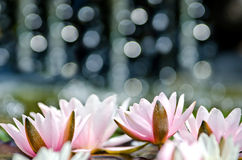 Water lily background Royalty Free Stock Image