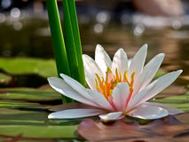 Water lily background Stock Image