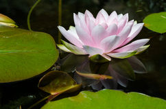 Water lily background Royalty Free Stock Images