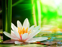 Water lily background Stock Photo