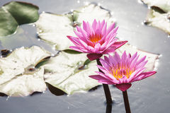 Water lily background in the water. Stock Photos