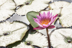 Water lily background in the water. Royalty Free Stock Photography