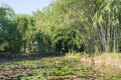 Water lily and bamboo grove Stock Photos