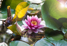 Water lily Royalty Free Stock Image