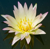 Water lily is a beautiful. Stock Photos