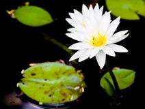 Water lily. A beautiful water lily Stock Images