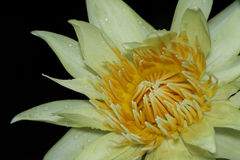 Water lily Royalty Free Stock Images