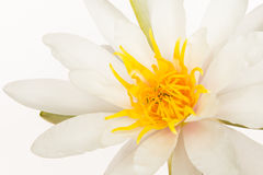 Water lily. Beautiful isolated white water lily Royalty Free Stock Images