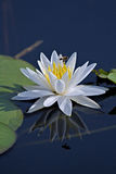 Water Lily with Bee Royalty Free Stock Photography