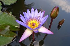 Water lily and bee Stock Images