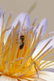 Water lily and bee Stock Photos