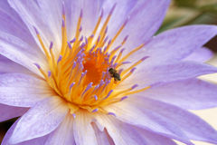 Water lily and bee Royalty Free Stock Images