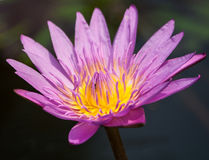 Water lily with bee inside Royalty Free Stock Photo