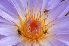 Water lily and bees Stock Images