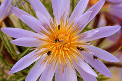 Water lily and bees Stock Photo