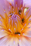Water lily and bees Stock Photos