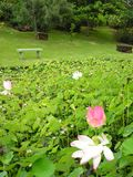 Water lily with bench Royalty Free Stock Images