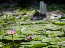 Water lily. In Beppu, Japan stock photos