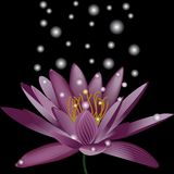 Water lily   on black background Stock Photo
