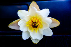 Water Lily on a black background. Water Lily on a dark background. lake Lily. flowering water lilies Stock Photo