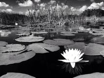 Water lily in black and white. Black and white capture of a water lily in lake Stock Photos