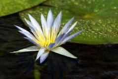 WATER-LILY BLANCO Imágenes de archivo libres de regalías