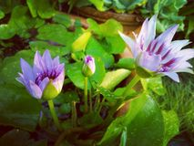 Padma. Water lily bloom Stock Image