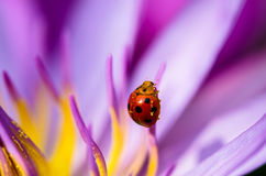 The water lily blooming with a ladybug Stock Images