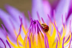 The water lily blooming with a ladybug Royalty Free Stock Photos