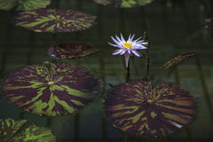 Water lily. A blooming water lily, opened stock photos