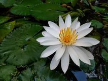 water lily blooming. white and yellow royalty free stock photography