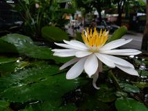 water lily blooming. white and yellow royalty free stock images