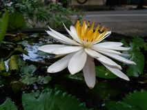 water lily blooming. white and yellow stock images