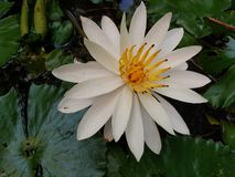 water lily blooming. white and yellow stock image