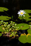 Water lily. Blooms in pond stock photos