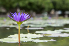 Water lily The Blue Lotus Stock Photography